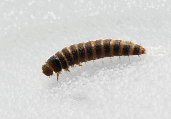 Личинка кожееда
